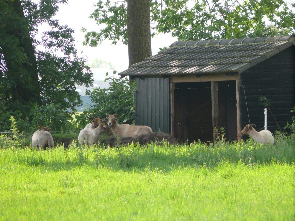 drentse-heideschapen