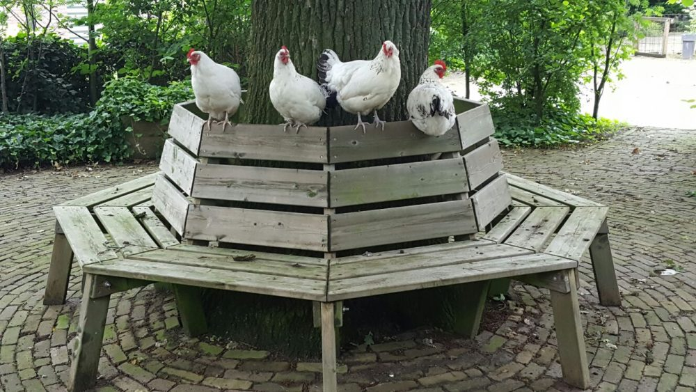 kippen-op-bank-rond-eik